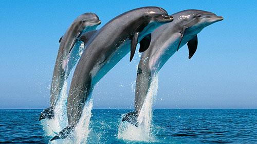 A Punta Campanella, giochi e piroette dei delfini (video)
