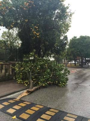 Albero spezzato dal forte vento a Sorrento